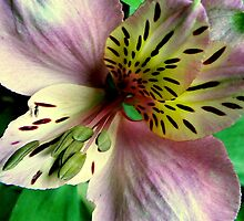 Alstroemeria  by Tom Newman