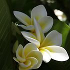Frangipani by Michael Walker