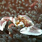 Porcelain crab in his anemone... by Marcel Botman