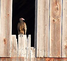 Home to a Turkey Vulture by DigitallyStill