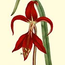 Amaryllis Flower Botanical Art by Zehda