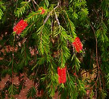 Bottlebrush by Elaine Teague