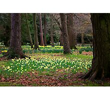 A Walk in the Woods - Spring Daffodils Photographic Print