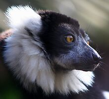 Ruffed lemur..... by jdmphotography