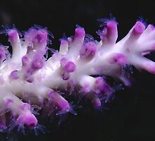 Coral polyps, Great Barrier Reef by Erik Schlogl