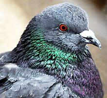 Rock Pigeon by Ryan Houston