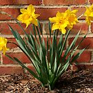 Daffodils in German Village: Harbingers of Spring by Laurel Talabere