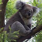 Koala Fun by Scott Westlake
