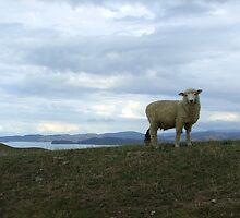 New Zealand Sheep by Baruch
