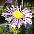 Close Up of A Violet Aster Flower Spring Bloom by taiche