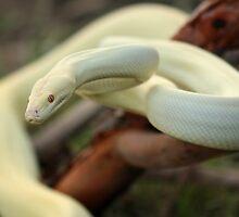 Albino Olive by Steve Bullock