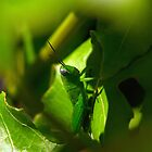 Grasshopper in Yamba, New South Wales by groophics