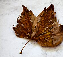 Fallen Leaf by Cathi Norman