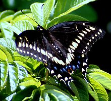 Eastern Black Swallowtail Butterfly with Wings Spread by Laurel Talabere