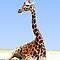 RESTING GIRAFFE by Michael Sheridan