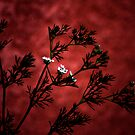 little white flowers on a big Red wall by CheyAnne Sexton