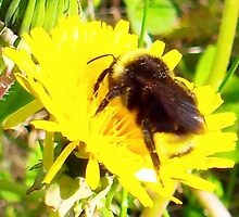 I Found a Baby Bumble Bee by copperhead
