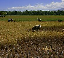 Another Day in the Rice Field by Jojie Certeza