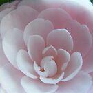 Soft Pink Rose by NancyC