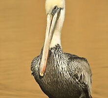 Brown Pelican by Nickolay Stanev