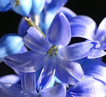 Close-up of a Hyacinth by CanDuCreations