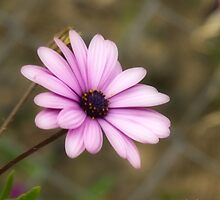 a simple daisy by Andrea Rapisarda