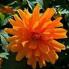 Orange Dahlia #2 by Deborah McGrath