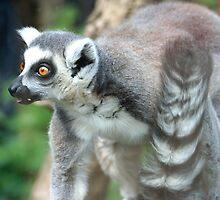Ring-tailed Lemur (Lemur catta) by Mishimoto