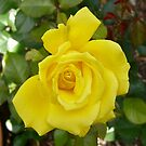 Yellow Rose by Vic Cross