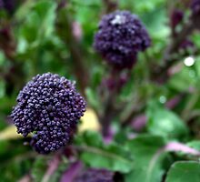 Purple Sprouting by Mishimoto