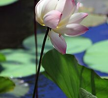 Pink-tipped white lotus by gustinegirl