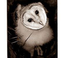 Barn Owl Chick by Shannon Benson
