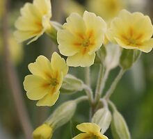 Cowslips  by Pamela Jayne Smith