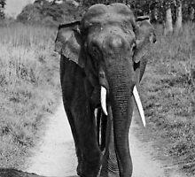 Asiatic Elephant (Tusker) by Varun Chopra
