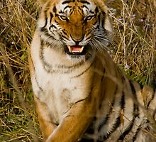 The Royal Bengal Tiger, CNP, India by Varun Chopra