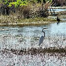 Egret @ Florida Everglades  by Isa Rodriguez