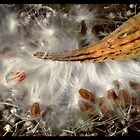 Milkweed by Dave  Higgins