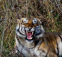 Royal Bengal Tiger Growling! by Varun Chopra