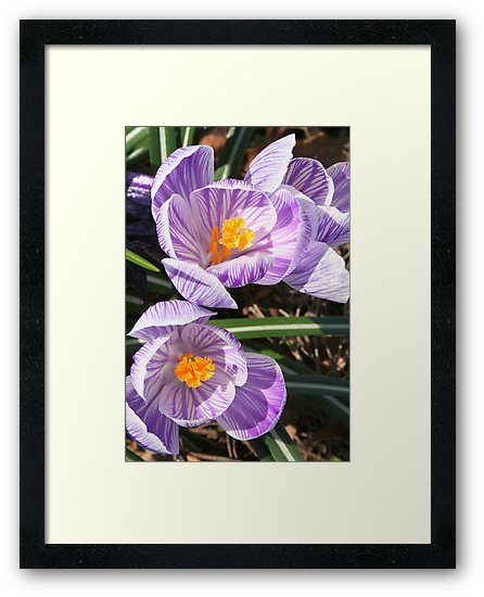 Welcome Spring!! Crocuses in Bloom by Laurel Talabere