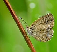 Pale Grass Blue by Tony Wong
