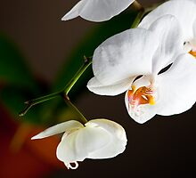 Orchid Plant with Pot by marz808