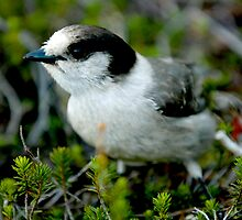 Canada Jay:  Mountain Bird with Many Names by David Friederich