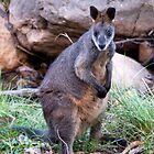 Wallaby by mspfoto