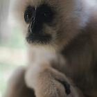 White Faced Gibbon by Tom Grieve