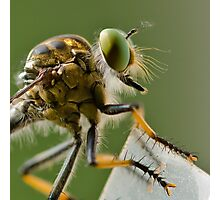Robber Fly, waiting... Photographic Print