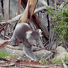 You Yangs Koala by DianneLac