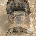 Scream If You Want To Go Faster - Mating Tortoises by taiche