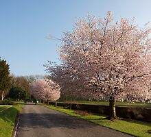 Cherry Blossom by Duncan Payne