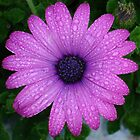 Purple Daisy with Raindrops by taiche