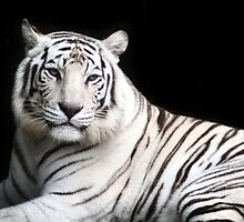 White Tiger by Kevin Means